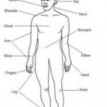 The Human Body (O corpo humano)